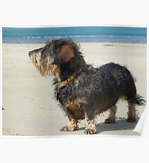 Daisy soaking up the sun in Cornwall Poster