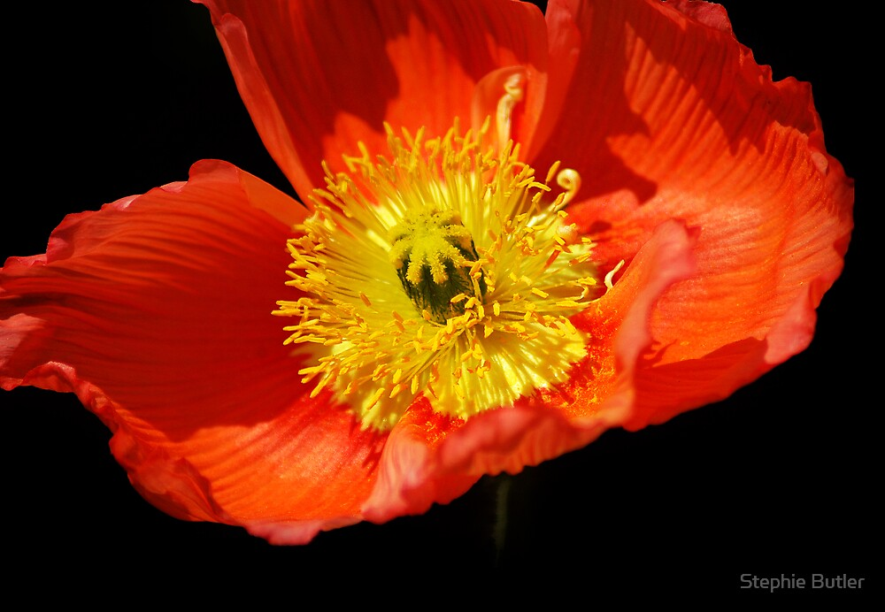 Red Poppy by Stephie Butler
