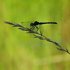 Dragonfly on a piece of grass by tonia delozier