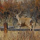 Mule Deer Jumping a Wood Fence by Buckwhite
