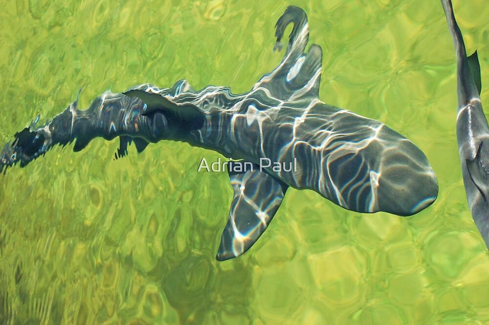 Bull Shark, Western Australia by Adrian Paul