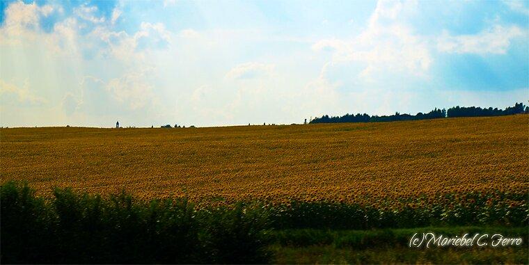 Sunflowers on the Italian countryside by Mariebel Ferro