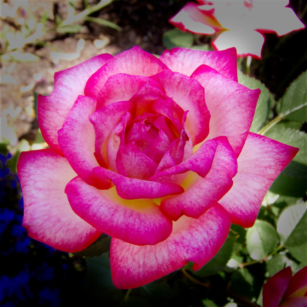 Mum's Rose by Emjay01