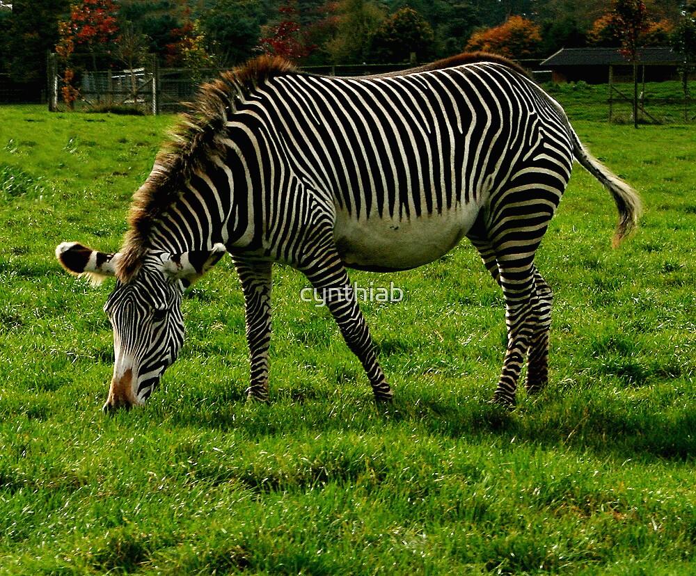 zebra by cynthiab