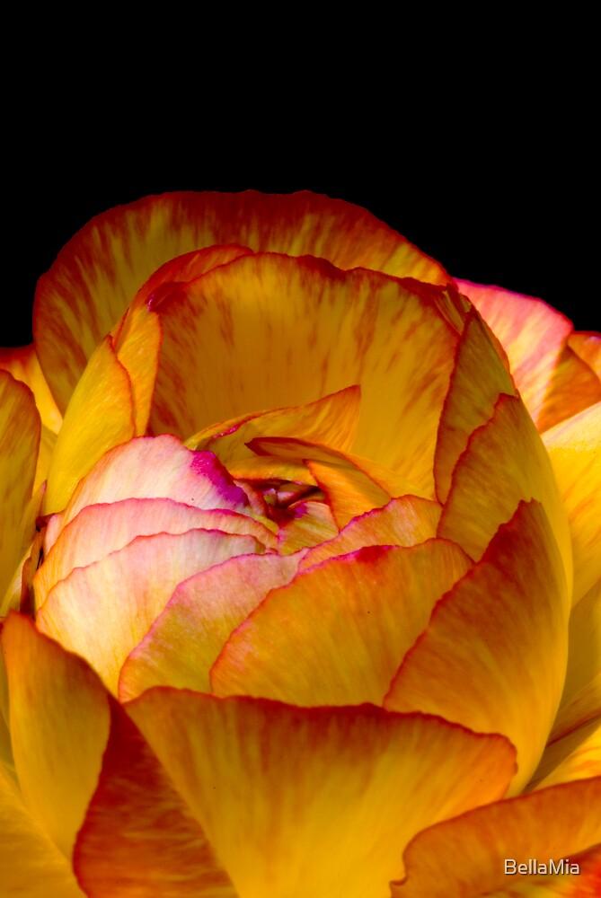 Ranunculus by BellaMia