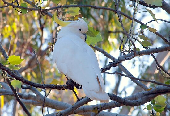 Australian Sulphur Crested Cockatoo by Clive