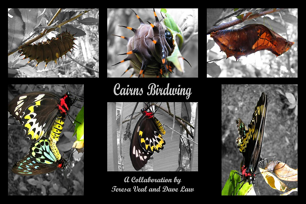 Cairns Birdwing by Dave Law