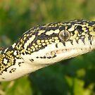 Diamond Python, Morelia spilota spilota by peterstreet