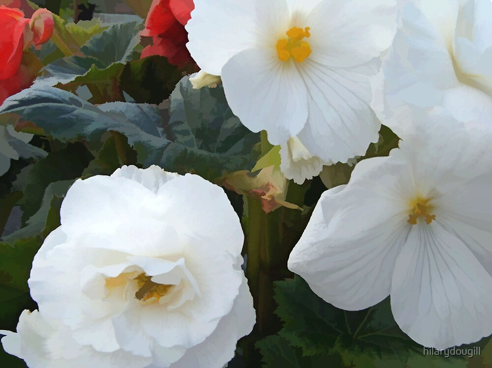 abstract of white begonias by hilarydougill
