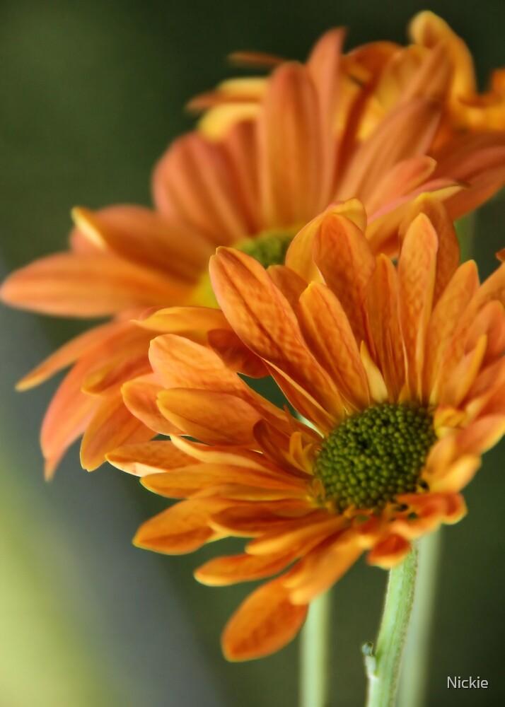 Orange Gerbera  by Nickie