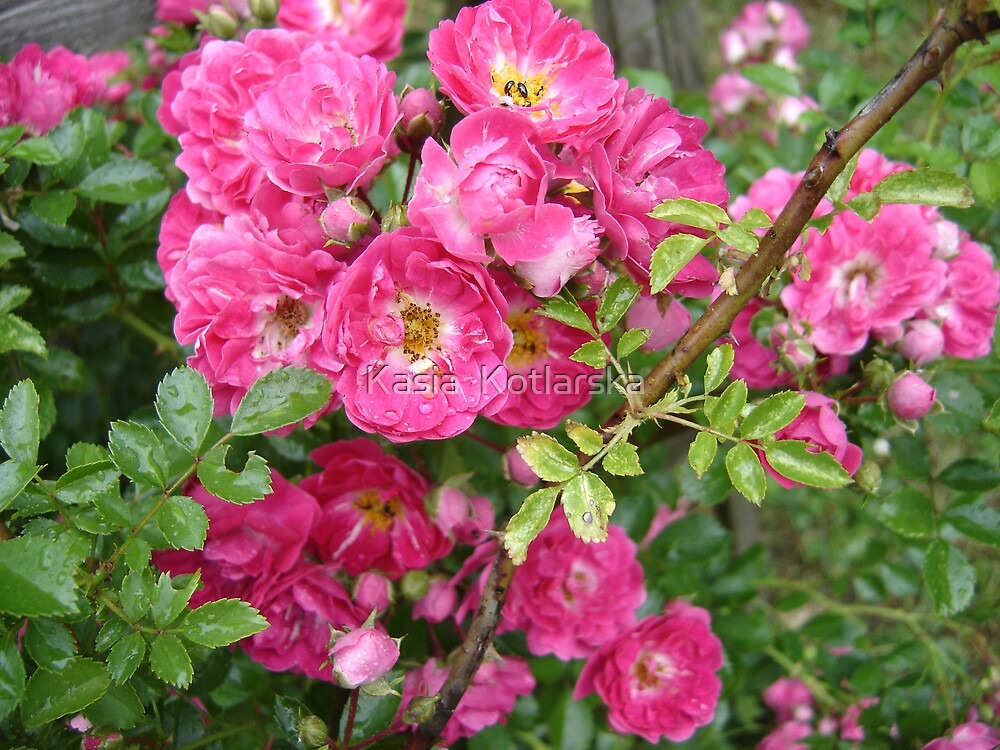 Country roses by Kasia  Kotlarska