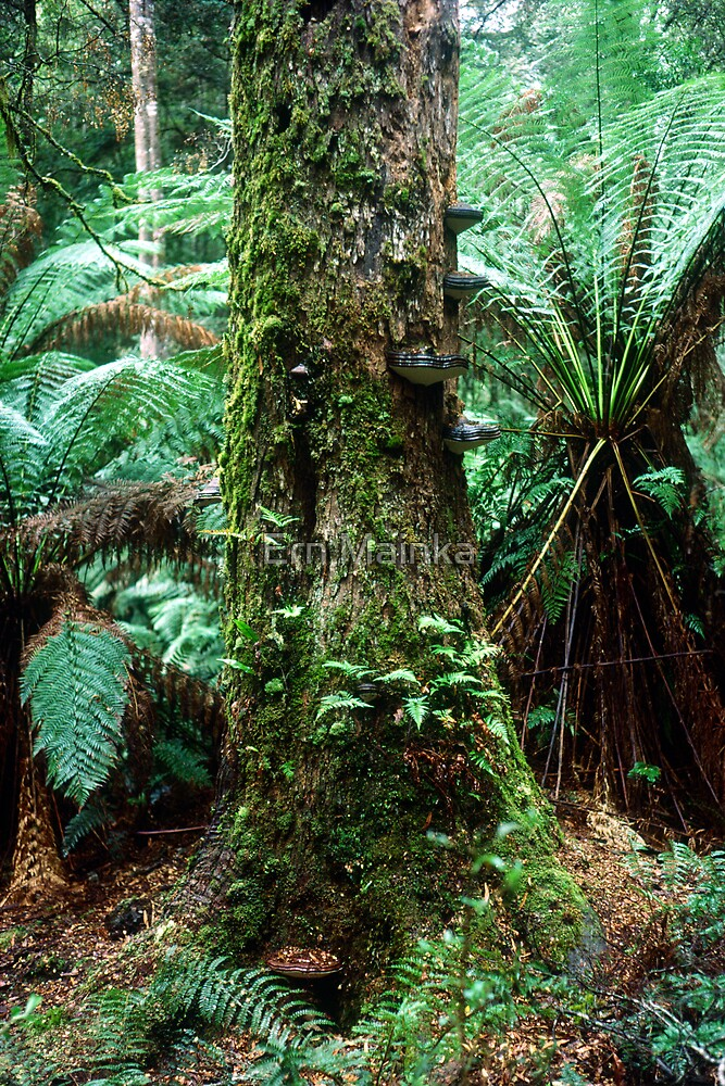 Tarkine Rainforest, Tasmania. by Ern Mainka