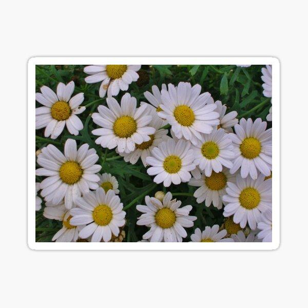 Marguerite Daisies (Argyranthemum) Sticker