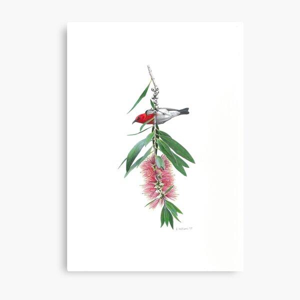 Scarlet Honeyeater and callistemon flower Metal Print