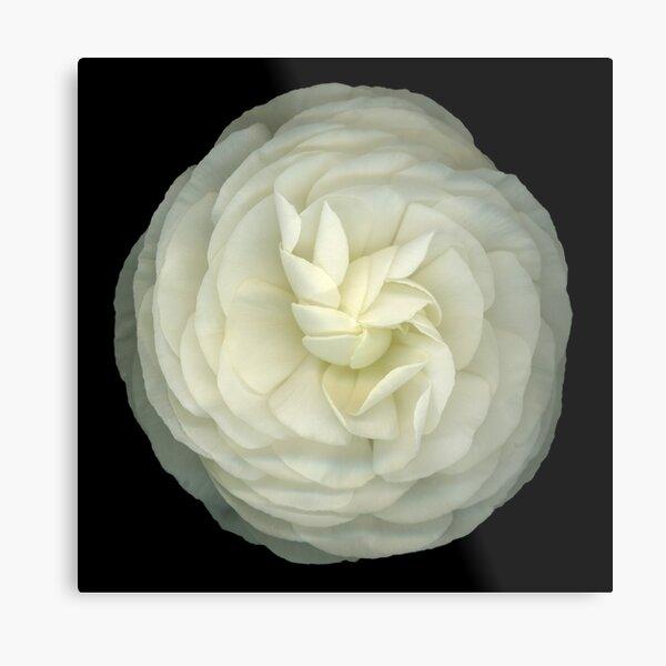 Ranunculus White Metal Print