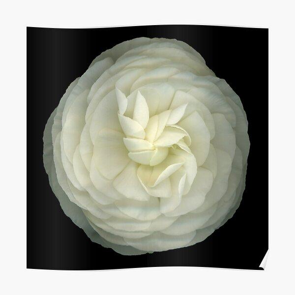 Ranunculus White Poster
