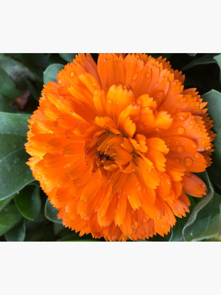 Marigold with Raindrops by douglasewelch