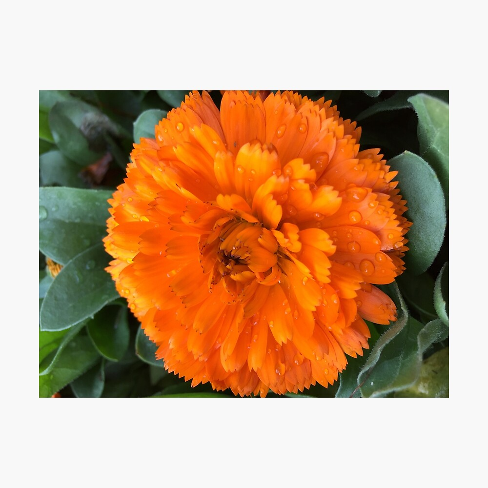 Marigold with Raindrops Photographic Print