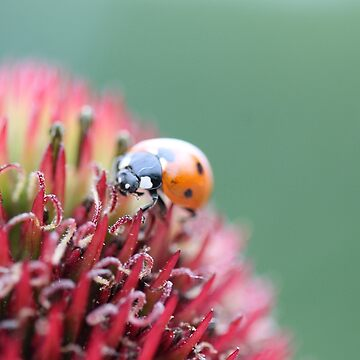 7 spotted ladybug by tanyadann