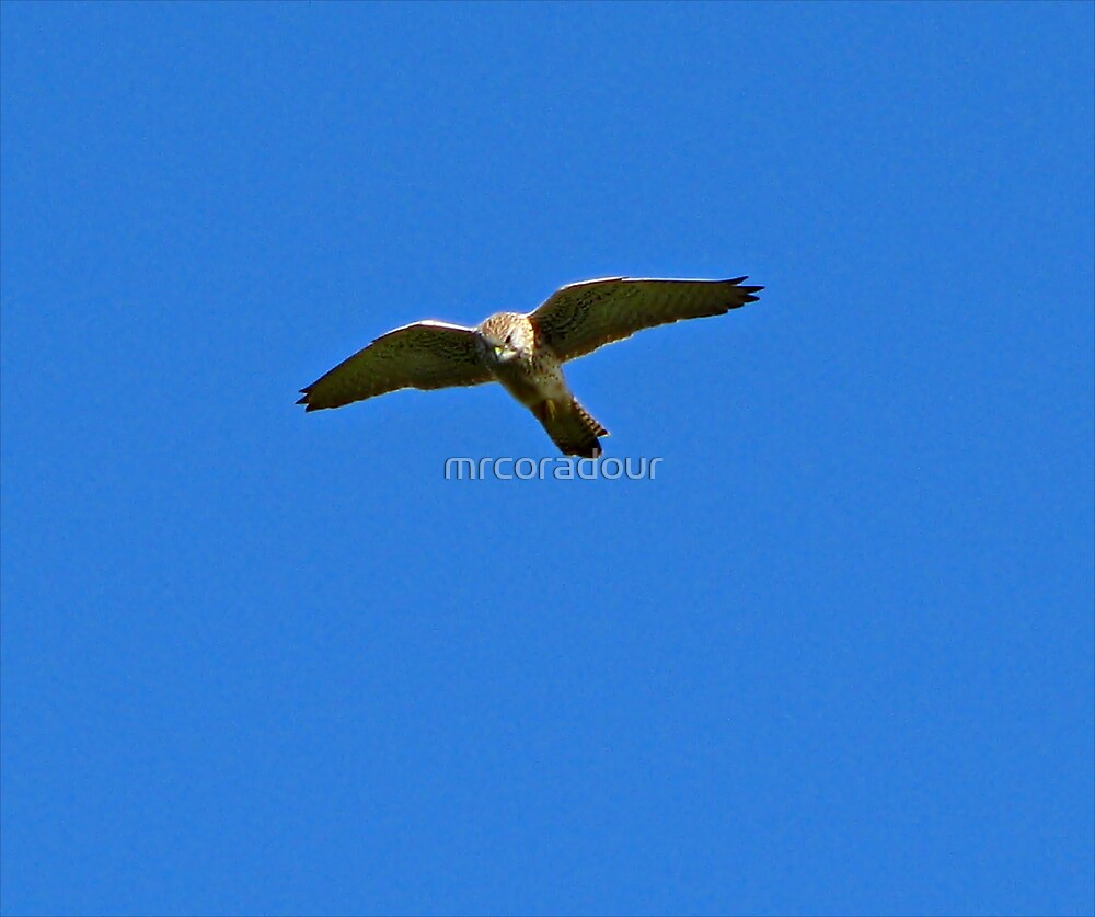 Hovering kestral. by Malcolm Chant