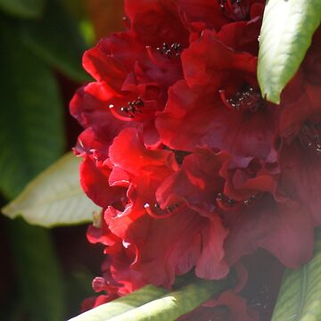 Red Rhodo by tanyadann