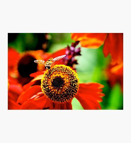 bee bee  Photographic Print