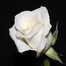 White Rose Bud by AnnDixon