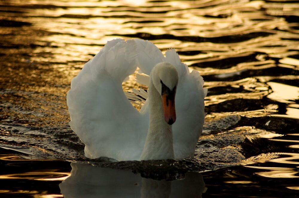 Great White Swans by Shekhar