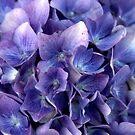Hortensia bleu by Jean-Luc Rollier