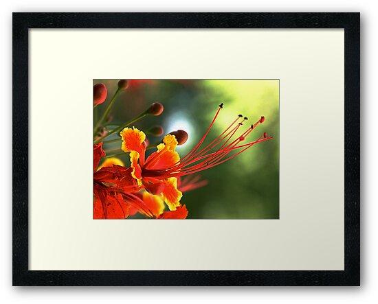Peacock flower. by Jean-Luc Rollier