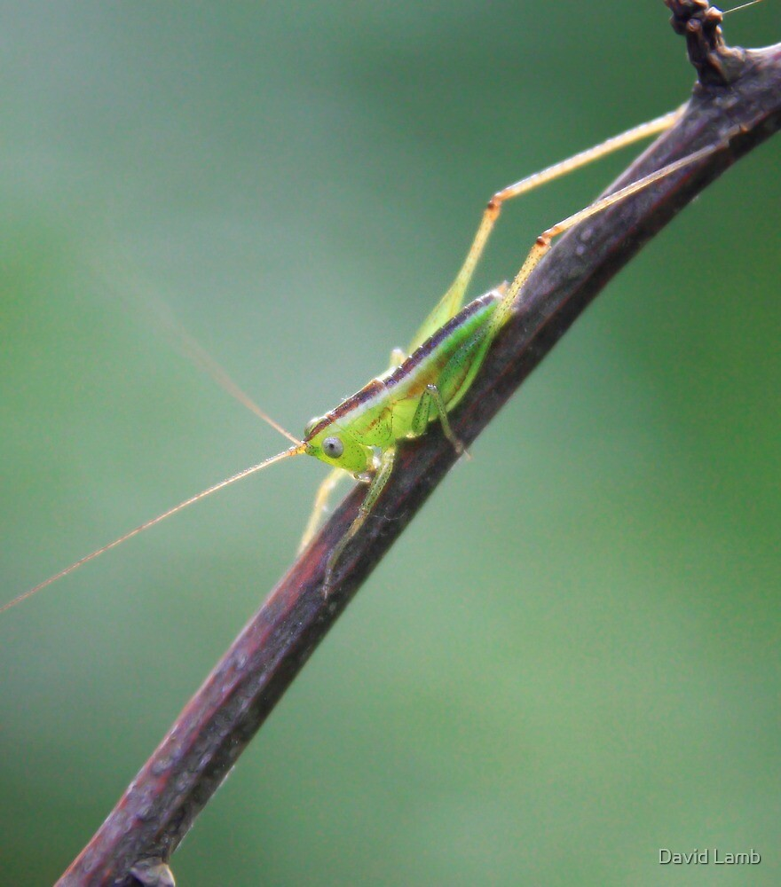 Young Grasshopper by David Lamb
