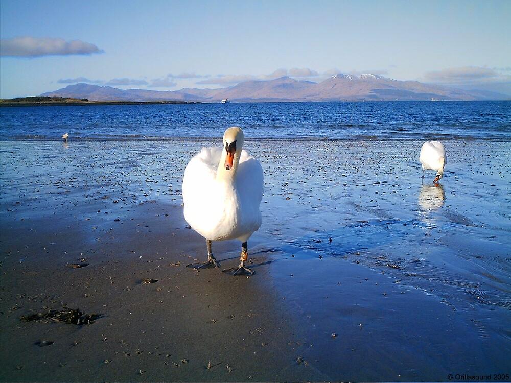 Swans at Ganavan Sands by Orillasound