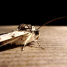 Moth by Maureen Kay