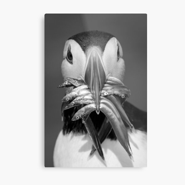 Black and White Puffin with Sandeels Metal Print