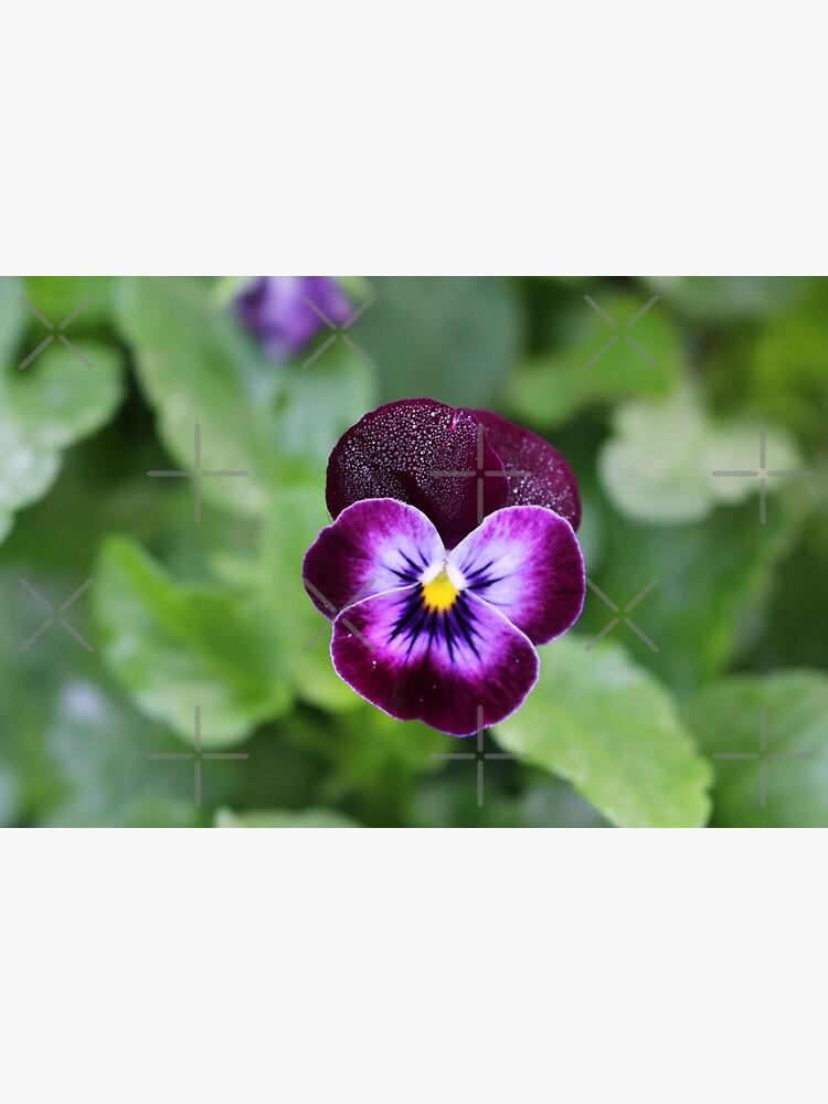 Purple Pansy by debfaraday