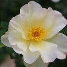 White Rose by debfaraday