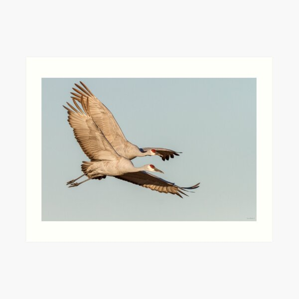 Two close -- Sandhill Cranes Art Print