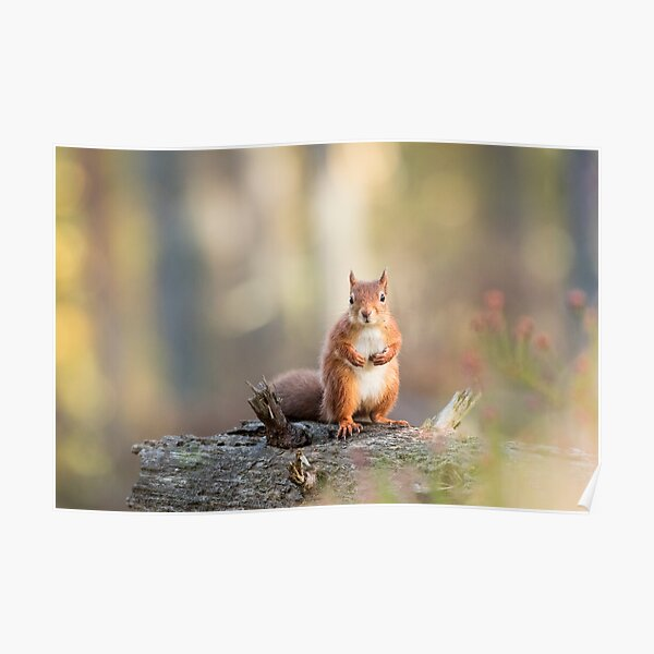 Red Squirrel in Woodland Poster