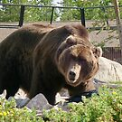 Grizzly Bear by Gwright313