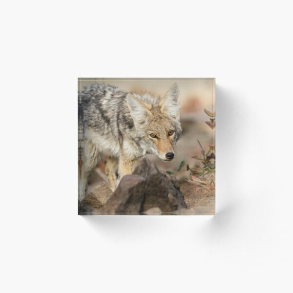 """""""You're in my way"""" -- Young Coyote Acrylic Block"""