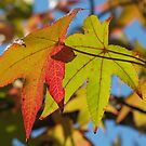 Sweetgum Leaves, October by Anna Lisa Yoder