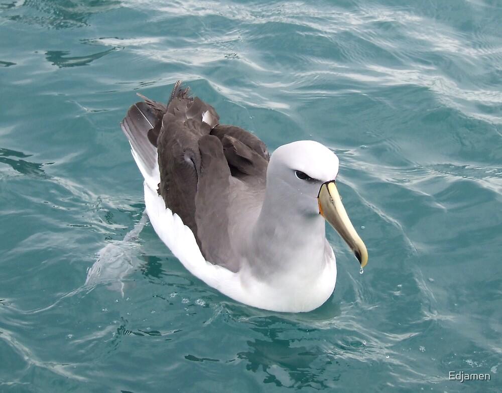 Shy Albatross by Edjamen