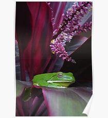 White Lipped Tree Frog, Litoria infrafrenata Poster