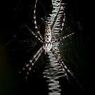 Zipper spider by jcmeyer