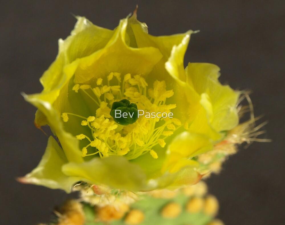 Teddy Bear Cactus flower by Bev Pascoe