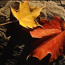 Maple Leaf Pair on Shadowy Rock by Anna Lisa Yoder