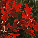 Oak Leaves in Autumn Flame by Anna Lisa Yoder