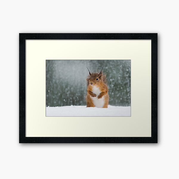 Red Squirrel in the Snow Framed Art Print
