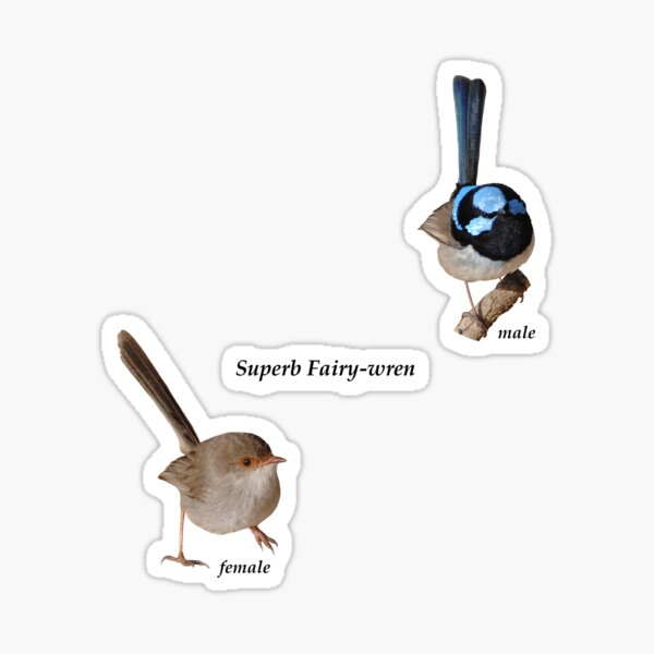 Superb Fairy-wrens male and female 4 Sticker
