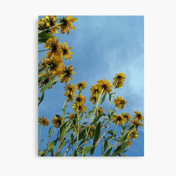 Brown-eyed Susans to the Sky! Canvas Print